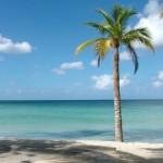 Palm tree on Jamaican beach