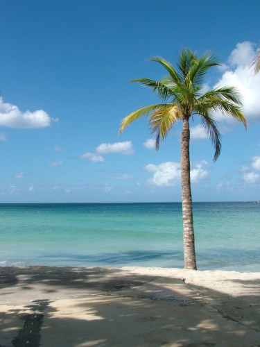 Palm tree on Jamaican beach